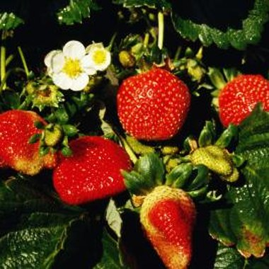 You can grow strawberries in all regions of Colorado.