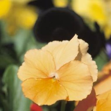 Pansies typically feature five round petals.