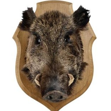 Wild hogs are also known as wild pigs, wild boar or feral pigs.