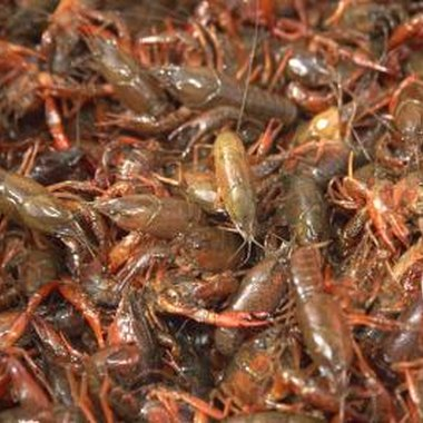 Crawfish are a staple of Louisiana cuisine.
