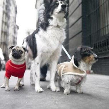 Sweaters and vests help short-haired and recently shorn dogs brave the elements.