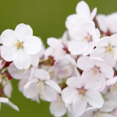 The cherry blossom has five petals, each with a small indentation on its outside edge.