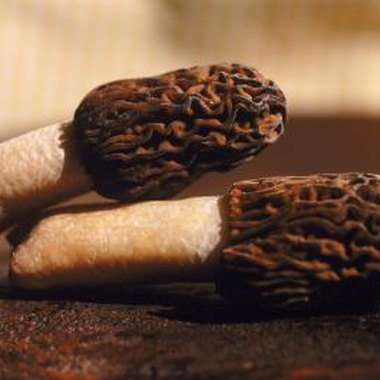 The morel is an edible mushroom that grows in Maryland forests.