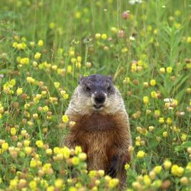 Use pictures of real groundhogs as inspiration for your crafts.
