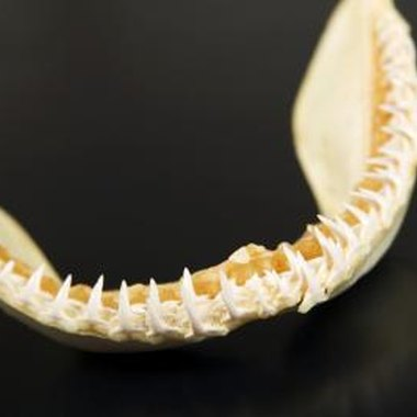 Shark teeth are abundant in some Alabama sites.