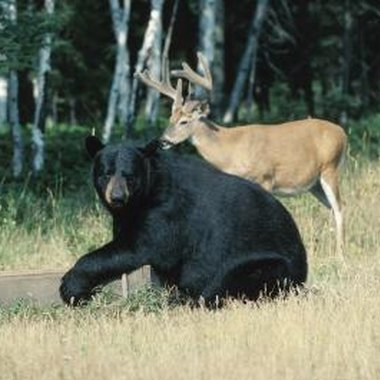 Both deer and black bear can be hunted in Garrett County, Maryland.