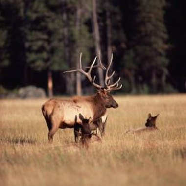Hunting for trophy bull elk in Colorado is a premier hunting adventure.