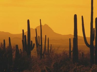 The saguaro cactus is part of a climax desert community in southwestern America.