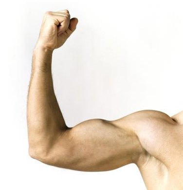 Biceps are made from spindle-shaped muscles called fusiforms.