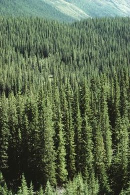 Global warming negatively affects boreal trees that live in temperate forests.