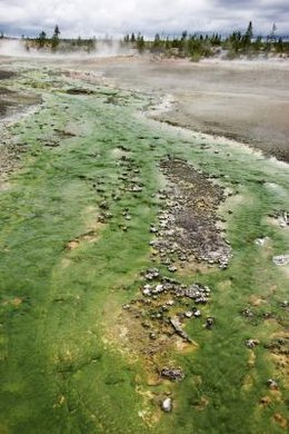 Algae can be grown in almost any kind of water.