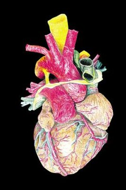 Unlike other muscles in the body, the heart never rests.