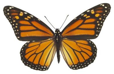 Monarch butterflies are a good subject for teaching students about insects.