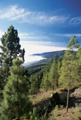 Pine forests in the American West are now in trouble due to poor forest management.