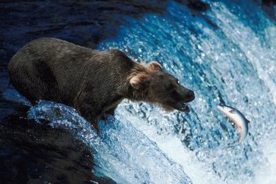 Bears and mountain lions are considered top predators in the food chain.