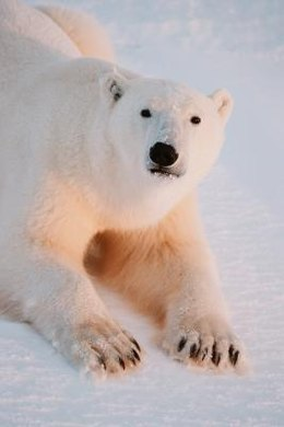 The melting of the Arctic ice cap is having a chilling effect on polar bears' abilities to hunt for food.