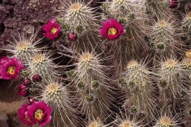 Cactus spines are structural adaptations that provide shade and protection from herbivores.