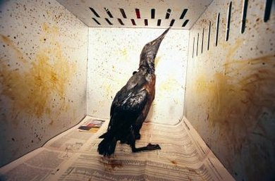 Special procedures are required to remove oil coatings from birds and other wildlife.