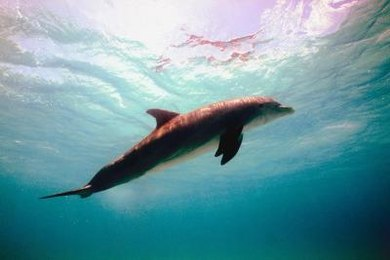 Dolphins use echolocation to help them navigate, find food and stun their prey.