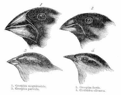 Darwin believed that the different finches' beaks resulted from evolution.