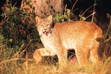 In North America, lynx, coyotes and raptors compete for the same prey. (See Reference 11)