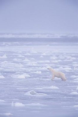 Polar bears can smell a seal on the ice up to 20 miles away. (ref 2)