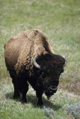 The bison in Yellowstone Park are some the last remaining wild herds.