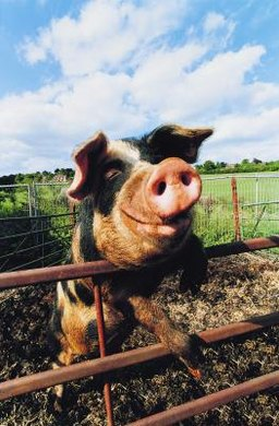 "The caricatured pigs in ""Animal Farm"" are figurative representations of true dictators."