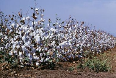 Working in a cotton field is palm-blistering work.