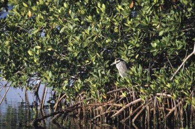 Mangrove forests are a type of salt water ecosystem.