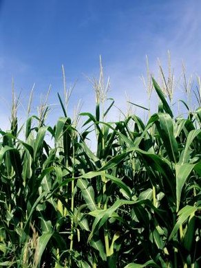 A 30-by-30 foot plot of sweet corn can transpire 90 gallons of water in one day. (see References 1)