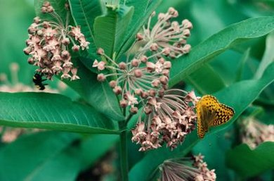 Milkweed acts as a detector, or native plant species sensitive to ground-level ozone.