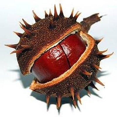 A ripe chestnut that has fallen from the tree.