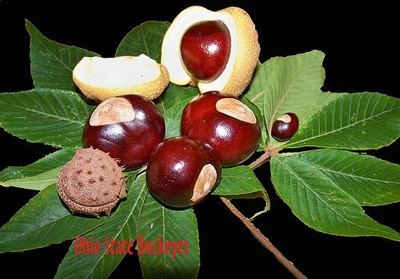 Nonedible Buckeyes from Ohio-A type of Horse Chestnut.