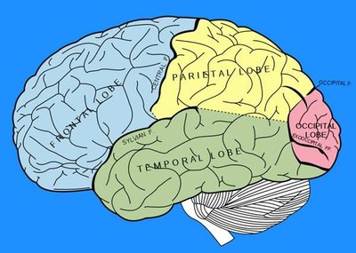 Sections of the Human Brain