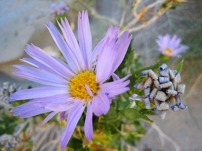Mojave aster adds color to a desert after a rain.