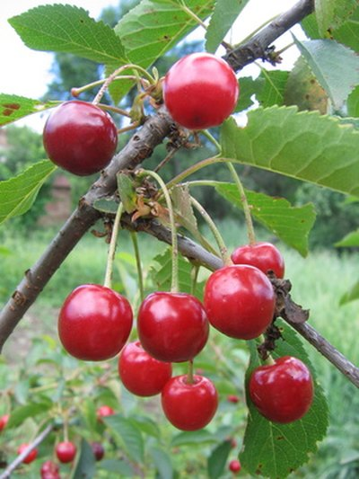 The 'Sunburst' cherry is a self fertile sweet cherry variety.