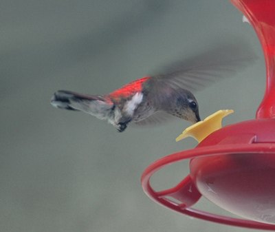 Hummingbirds have the unusual ability to rotate their wings 180 degrees.
