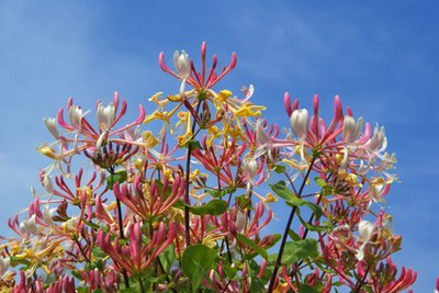 Honeysuckle blooms in white, yellow, pink and red varieties.