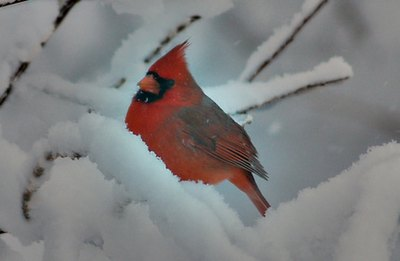 The cardinal is the state bird of seven states.
