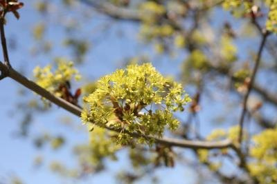 A close-up of yellow maple tree buds in the spring.