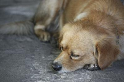Lethargy is one symptom of heart murmur in dogs.