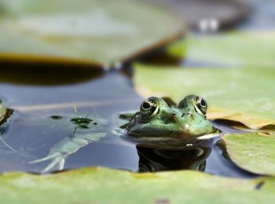 A frog blends in with the lily pads.
