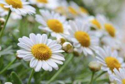 Chamomile has found its way into may facial creams.