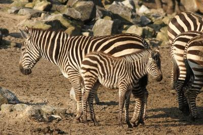 Grey zebras are endangered.