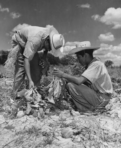 Mexican migrants working on a farm in California, 1940