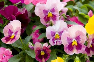 The Pansy is also known as the Viola tricolor.