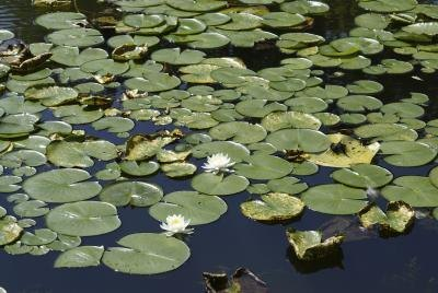 Water lillies and lily pads float on the surface of a pond.
