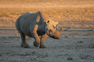 The black rhino is one of the most endangered animals in the world.