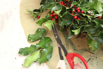 Trim stray holly leaves with shears.